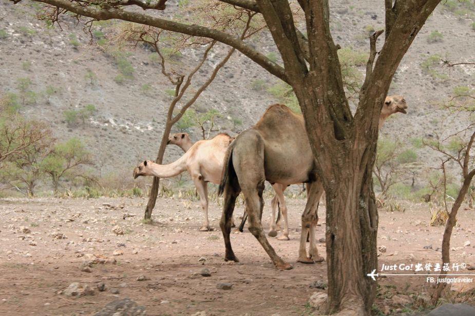 4天3夜Safari動物遷徙寒假自組團(上)58_